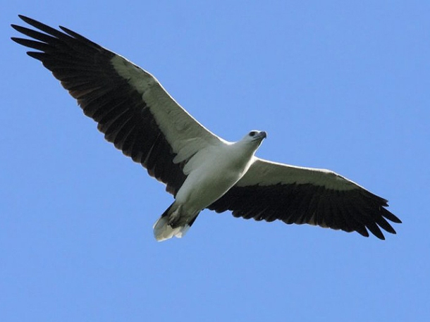 Photo courtesy of the Malaysian Nature Society at http://mnsraptorwatch.files.wordpress.com/2011/11/white-bellied-sea-eagle.jpg