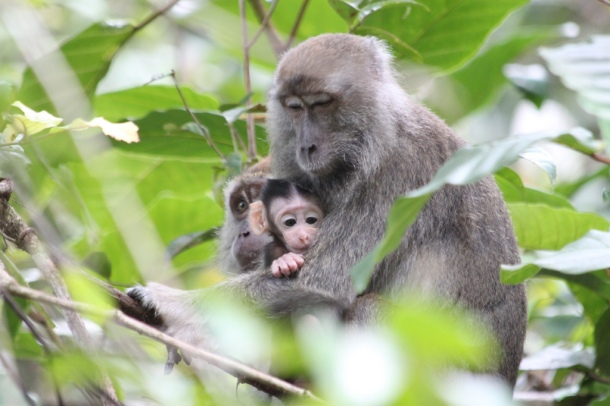Macaque with Baby