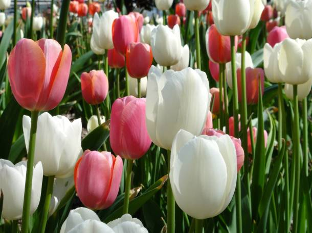 Jersey Tulips