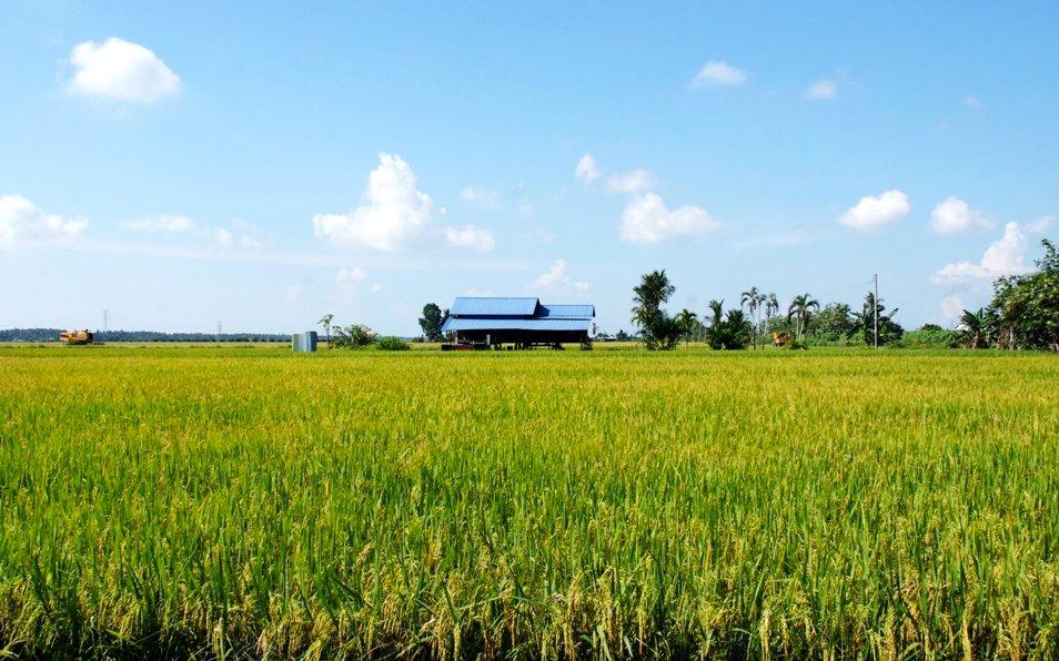 audax-brm300-sekinchan-rice-fields-tourism-selangor-my