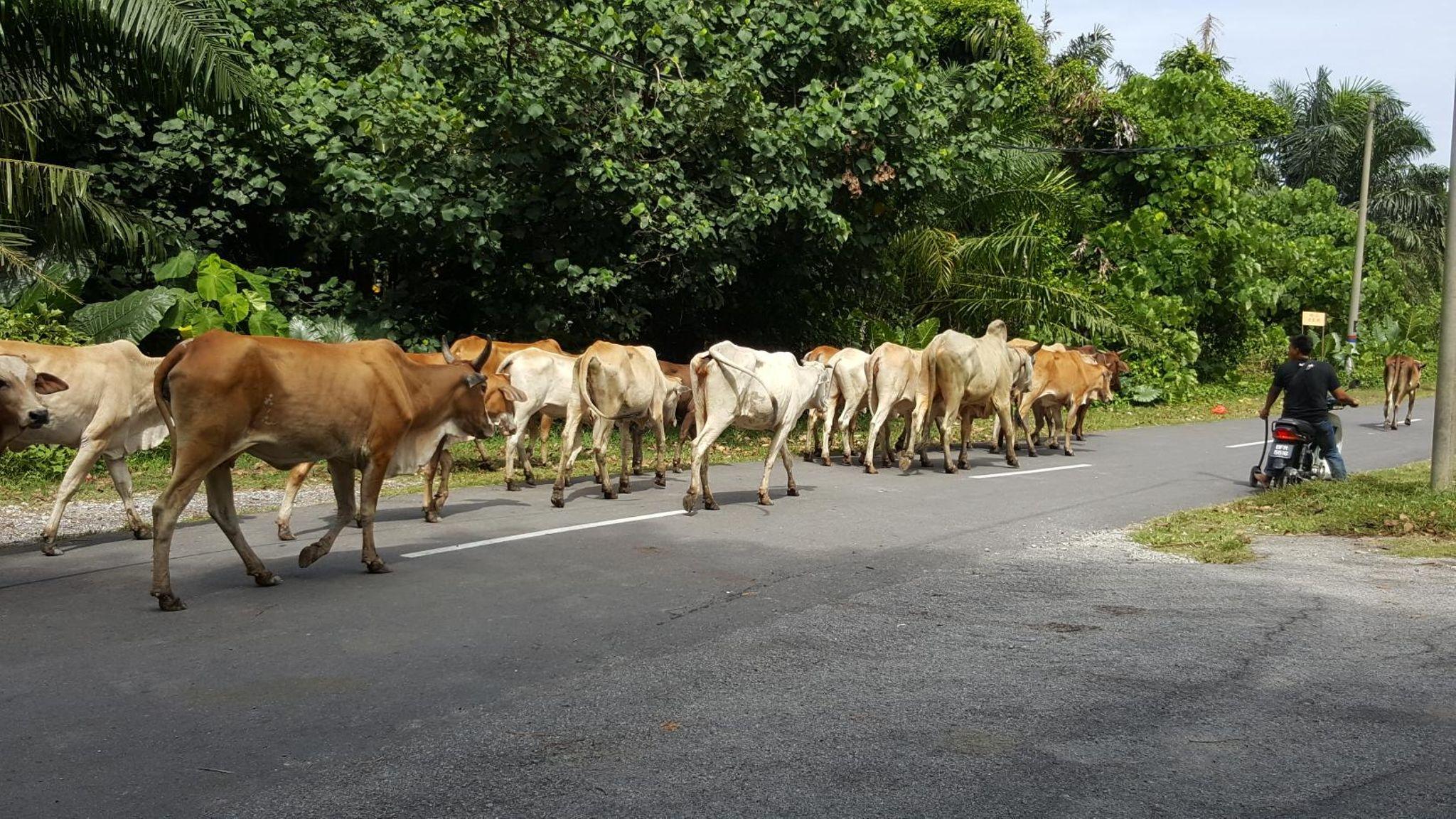 Morib Cows Wee Hwee Wang