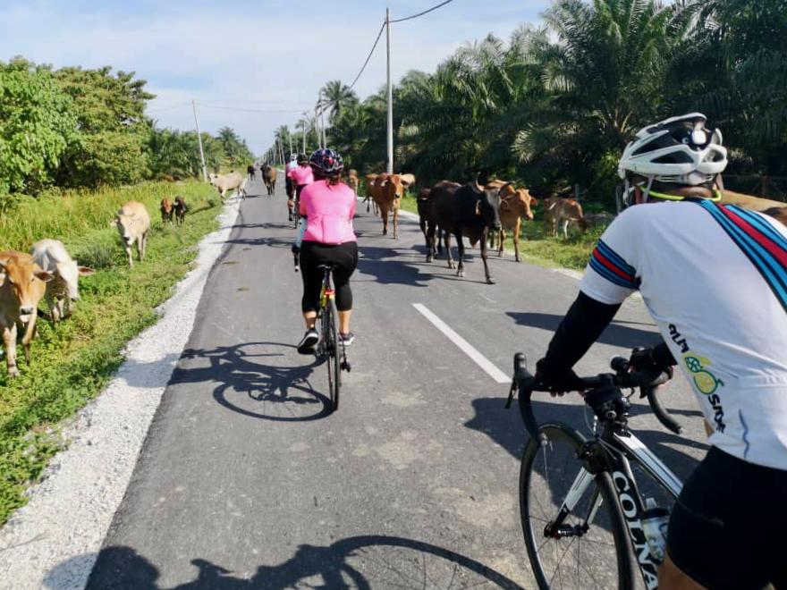 Teluk Intan Day 2 Cows Pai
